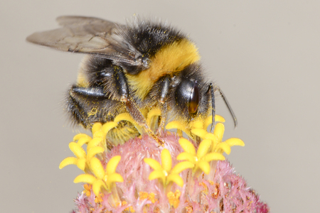 corpuscles: The bumblebee is choosing the nectar of flowers