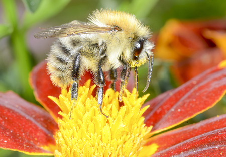 recluse: The wild bee is choosing the nectar of flowers Stock Photo