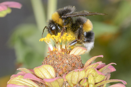 The bumblebee is choosing the nectar of flowers