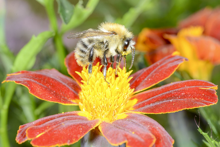 The wild bee is choosing the nectar of flowers Stock Photo