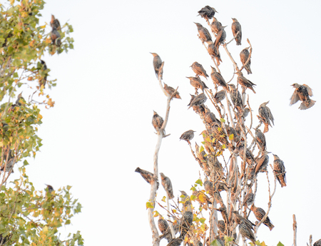 flew: Starling flew in to accommodation for branches of the poplar