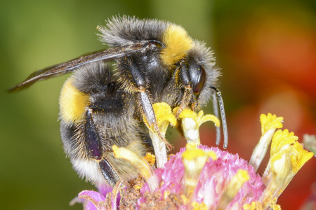 he: The bumblebee is choosing the nectar of flowers