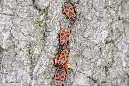 firebug: Firebug on the bark of the lime tree. Firebugs generally mate in April and May. Their diet consists primarily of seeds from lime trees and mallows