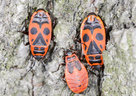 lime tree: Firebug on the bark of the lime tree. Firebugs generally mate in April and May. Their diet consists primarily of seeds from lime trees and mallows