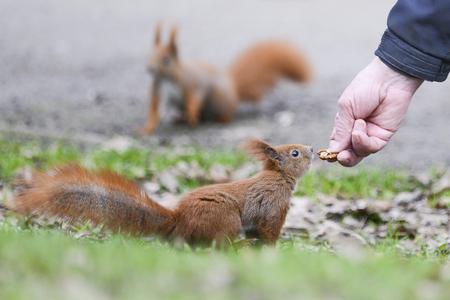 Squirrel. Feeding wild animals.