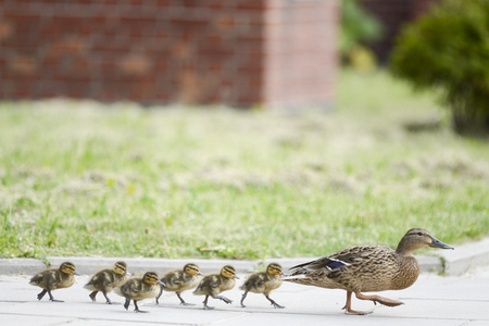Ducks family on the walk
