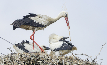 Nest of white storks. Family in which they were born four young Stock Photo