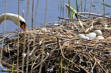 The mute swan is looking after eggs by the nest Фото со стока