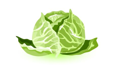 White cabbage. Big leafy green vegetable, source of vitamins. Can be pickled, fermented, steamed, stewed, saut ed, braised, or eaten raw. Cartoon vector icons on white for menu, packing, recipes