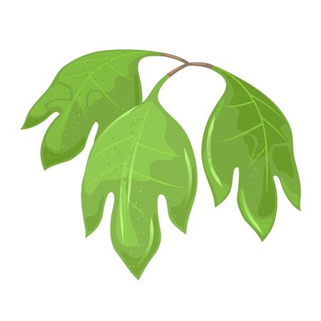 Three-lobed green leaves of sassafras tree with aromatic properties. Foliage using for culinary and medicinal purposes. Cartoon vector botanical illustration isolated on white background.