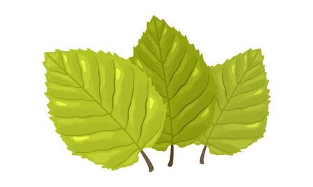 Three green leaves with visible tertiary veins of beech tree. Springtime, summertime concept. Cartoon vector isolated on white for botany, gardening, ecology, natural environment protection projects. 向量圖像