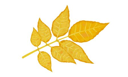 Yellow leaf of fraxinus or ash tree. Calmness, melancholy, tranquillity, beautiful nature concept.. Hello autumn, bye summer. Vector cartoon illustration isolated on white background.