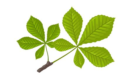Green leaves of chestnut tree. Springtime, summertime concept. Cartoon vector illustration isolated on white for botany, gardening, biology, ecology, natural environment protection projects.