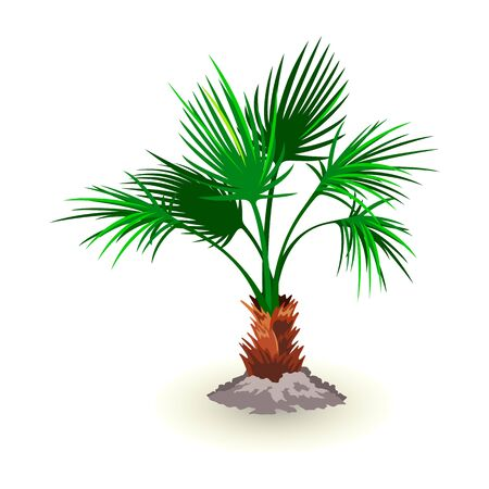 Isolated vector image shows dwarf palmetto tree with huge lush green leaves on white background