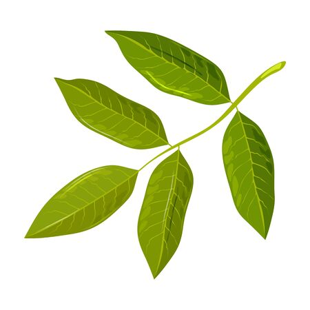 Green leaf of walnut tree. Discover amazing nature. Urban gardening, greening, landscaping of cities, municipal forestry concept. Vector cartoon icon isolated on white background. Çizim