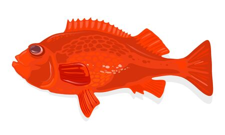Rockfish, acadian redfish is marine deep-water fish of sebastes genus with reddish-orange body. Perch. Vector cartoon illustration isolated on white for cooking, biological, ecological projects. Stok Fotoğraf - 134746931