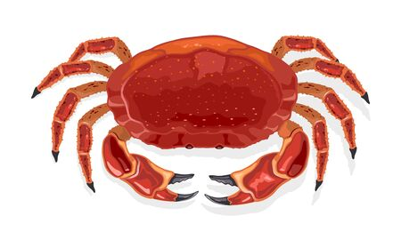 Cooked red crab, partan. Prepared steamed or boiled crustacean. Vector cartoon illustration isolated on white for market label, food packing, marine fauna themes design, recipes, menu, cookbook.