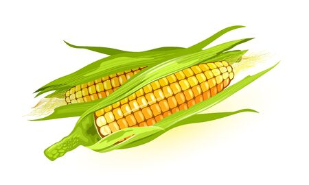 Two ripe maize or corn cob, ears of corn with yellow kernels, silk. Cereal grain. Summer harvest. using for cooking corn starch, syrup, popcorn, oil, alcoholic beverages, animal feed. Vector on white.
