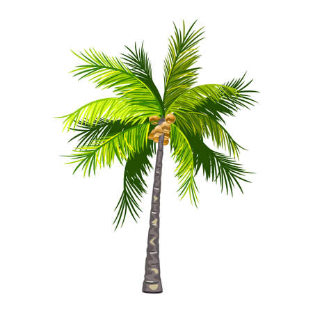 Palm tree with coconut fruit, exotic tropical plant. Vector puffy green leaves and stem, island tree, nature, summer harvest, botanical design isolated on white background