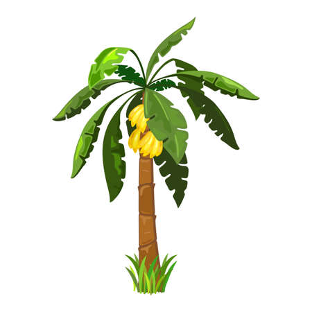 Mellow bananas fruit on palm tree, exotic sweet fruit. Vector botanical and tropical plant raised on island, wild nature, island gift design isolated on white background
