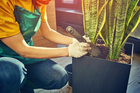 The gardener plants flowers in pots in the greenhouse