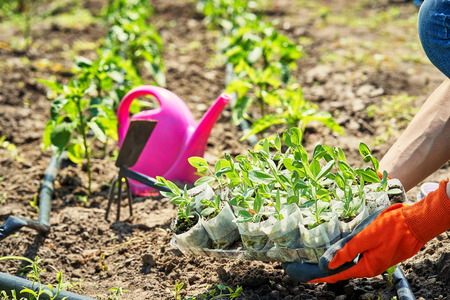 Gardener plants seedlings on his plot. spring garden chores 스톡 콘텐츠