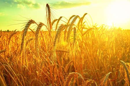 Wheat field. Ears of golden wheat closeup. Harvest concept Standard-Bild