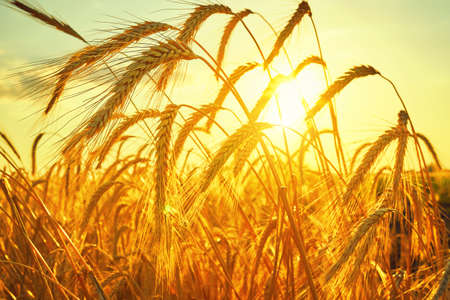 Wheat field. Ears of golden wheat closeup. Harvest concept 스톡 콘텐츠 - 153203280
