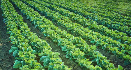 Green cabbages heads in line grow on field.