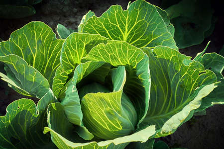 Cabbage grow in the garden. Agriculture. Healthy and healthy food for humans. The cultivation of cabbage.