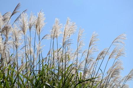 pampas: Japanese pampas grass. In Hokkaido.