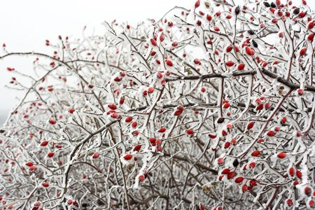 Snow covered Rose hips in winter  photo