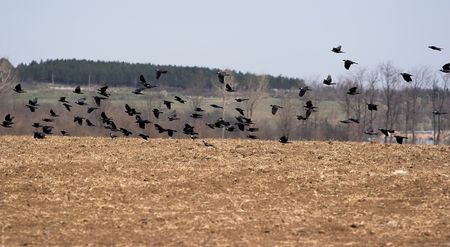 Flying birds over the field photo