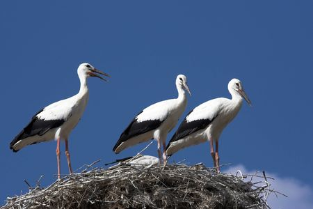 Stork  in their nest