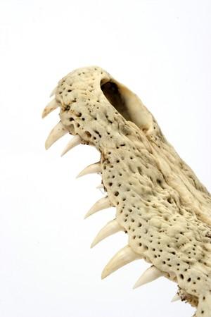 crocodile skull-teeth close up photo