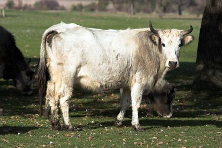 bovidae:   Bulgarian gray cattle out at feed