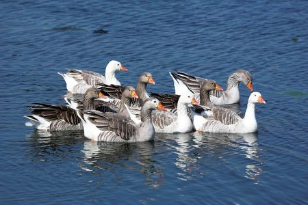 goose family swimming  in water photo