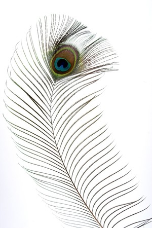 Close op of peacock feathers over white Stock Photo - 7570559