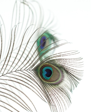 Close op of peacock feathers over white photo