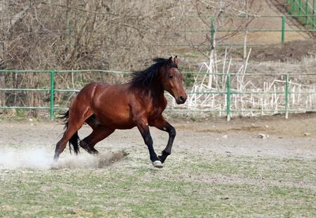 brown stallion at full gallop  photo