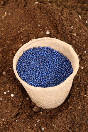 napus: colored rapeseed sowing seed in paper pot Stock Photo