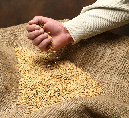 wheat sowing seed in mans hand Stock Photo