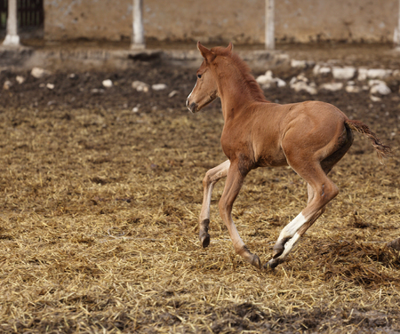 runing: picture of a runing brown foal Stock Photo