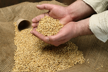 sowing: wheat sowing seed in mans hand Stock Photo