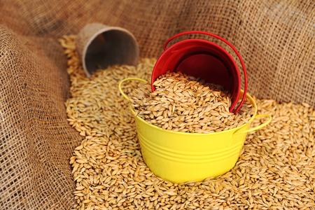 siembra: semillas de trigo de siembra en un cubo de metal de cerca Foto de archivo