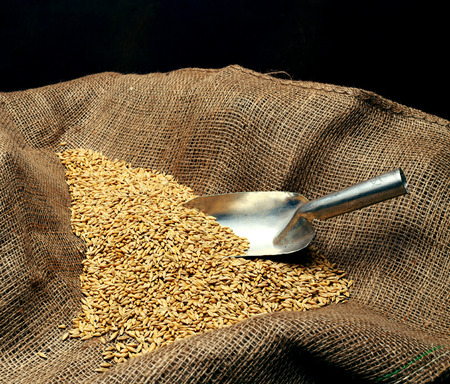 sowing: wheat sowing seed and metal spoon close up Stock Photo