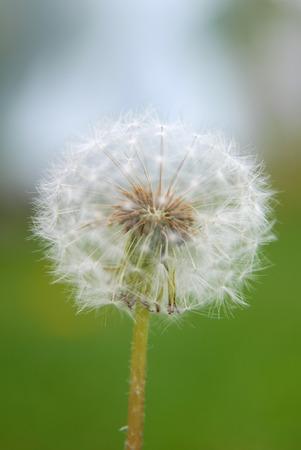 Close up of a Dandelion Imagens
