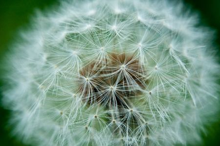 Close up capturing the parachute seeds contained within a dandelion flower head. Stock Photo - 7130878