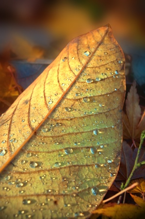 thawed: Close up on a fallen autumn leaf with droplets of thawed frost. Blurred leaf background. Stock Photo
