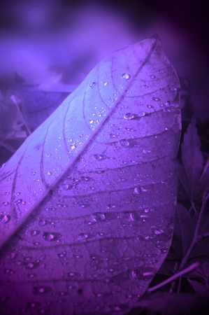 Close up on a fallen autumn leaf with droplets of thawed frost with violet light filter. photo